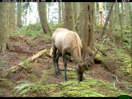 Olympic Project Elk